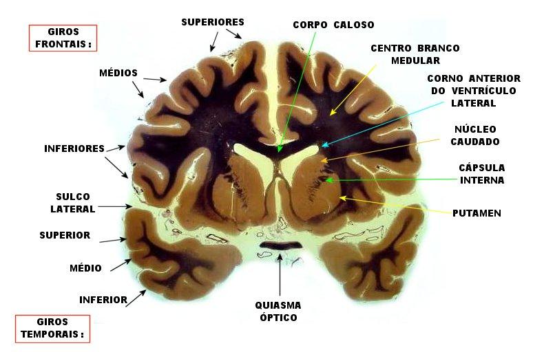 Neuroanat-UNICAMP