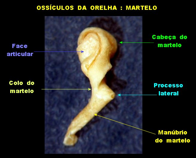 Orelha11++.jpg